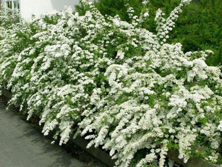Siepi con fiori siepi come realizzare siepi con fiori for Fiori sempreverdi da giardino