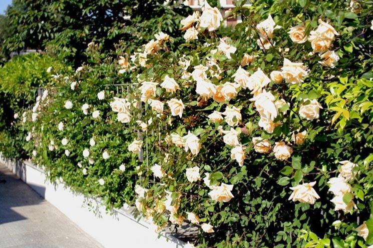 Una siepe di rose
