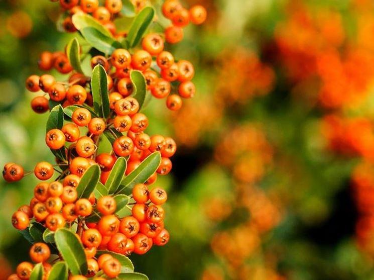 I bellissimi fiori del Piracanta