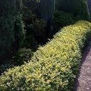 Siepi per il giardino for Siepi da giardino sempreverdi