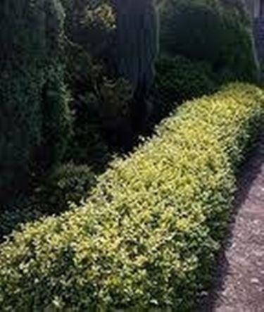 Siepi da giardino sempreverdi siepi for Siepe sempreverde
