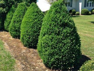 Cespugli di pianta di bosso