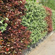 Siepe mista costituita da due varietà di piante