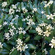 Pitosforo in fiore