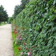 Siepe fiorita siepi - Siepi da giardino fiorite ...