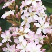 siepi sempreverdi fiorite
