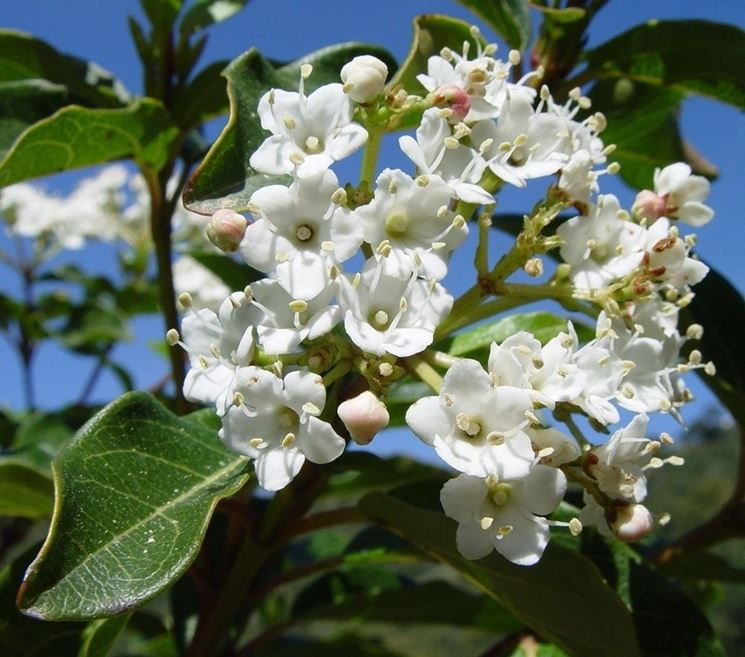 Siepi uso ornamentale siepi siepi ornamentali for Siepe finta amazon