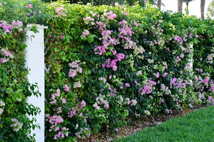 Siepi da confine siepi caratteristiche delle siepi da - Siepi da giardino fiorite ...