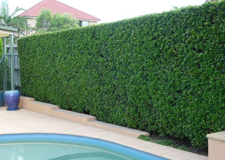 Siepi per recinzione siepi siepi da recinzione - Recinzione terrazzo ...