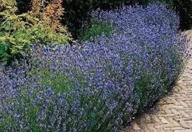 Siepi Da Giardino Fiorite : Siepi profumate siepi