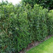 Siepi sempreverdi alte siepi for Siepe sempreverde