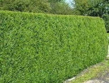 Tuia siepe siepi for Siepe sempreverde
