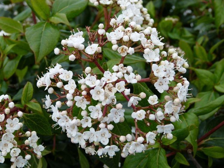 Fiore viburnum lucidum