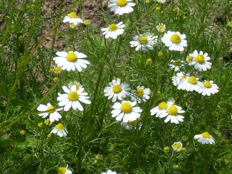 camomilla in fiore