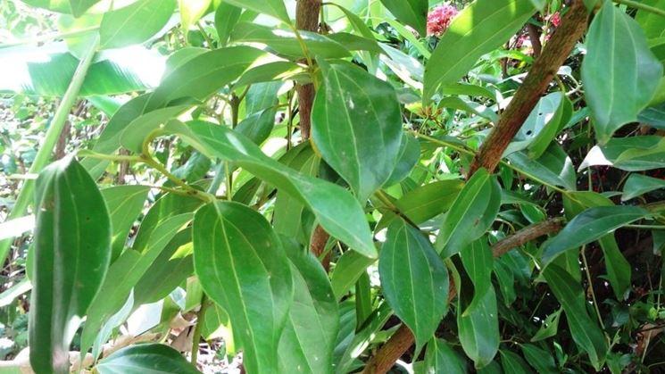 cannella pianta