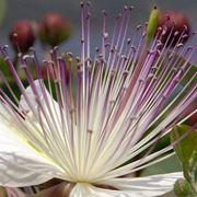 pianta del cappero