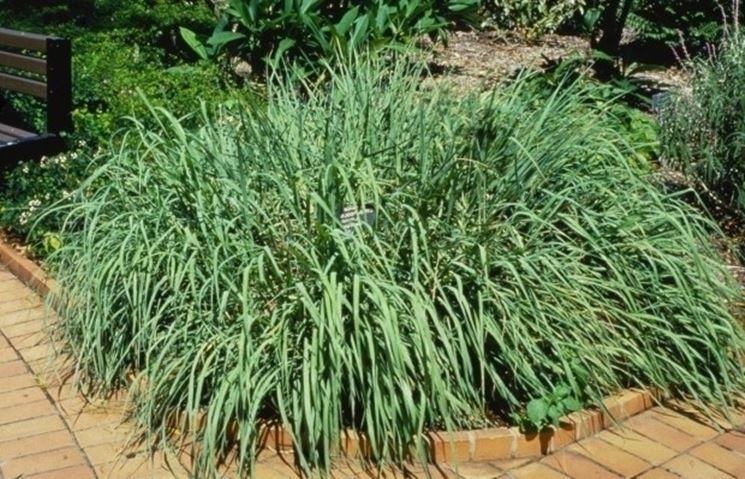 La citronella pu� essere coltivata nell'orto, in giardino o sul terrazzo
