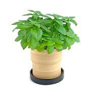 Coltivare basilico in casa tutto l'inverno