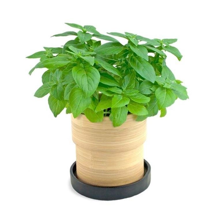 Coltivare basilico aromatiche consigli per la for Basilico vaso