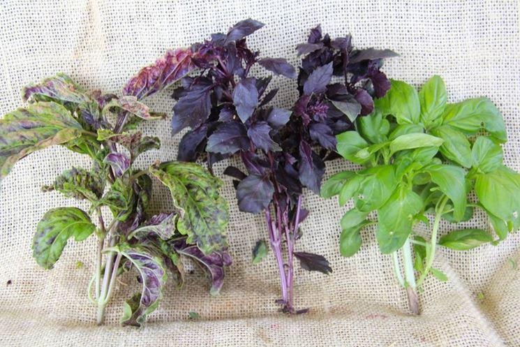 Alcune diverse varietà di basilico