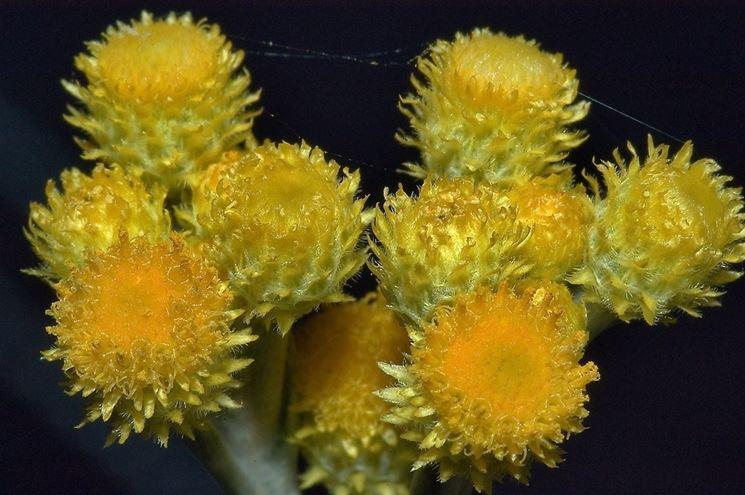 Infiorescenza di elicriso giallo (Helichrysum italicum)