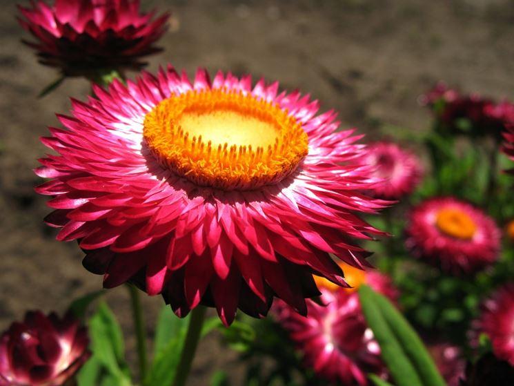 Elicriso fucsia (Helichrysum bracteatum)