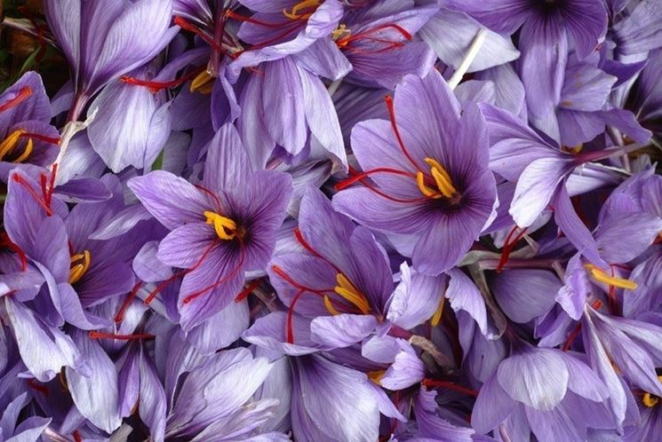 insieme di fiori di croco