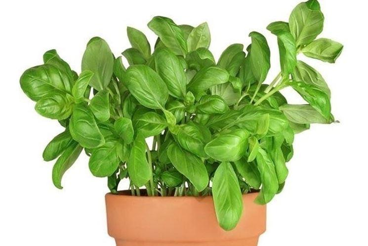 Come coltivare il basilico in vaso e a terra: la guida pratica