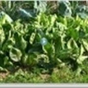 basilico coltivazione