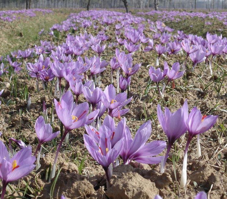 Fiori Zafferano.Coltivazione Zafferano Come Fare Aromatiche Come Coltivare Lo