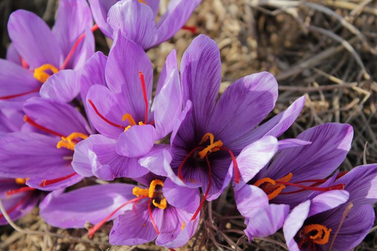 Bellissimi fiori di zafferano