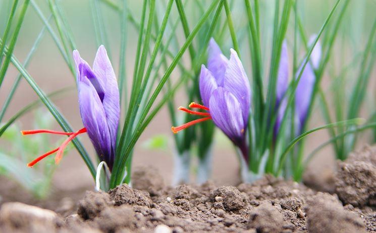 Fila di fiori di zafferano
