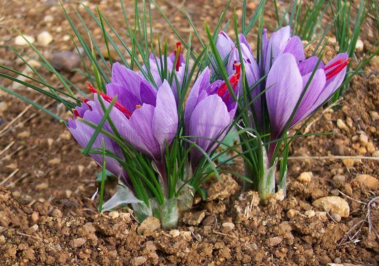 Come coltivare zafferano aromatiche consigli per la coltivazione zafferano - Compost casalingo ...