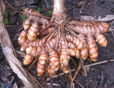 Apparato radicale delle piante di curcuma
