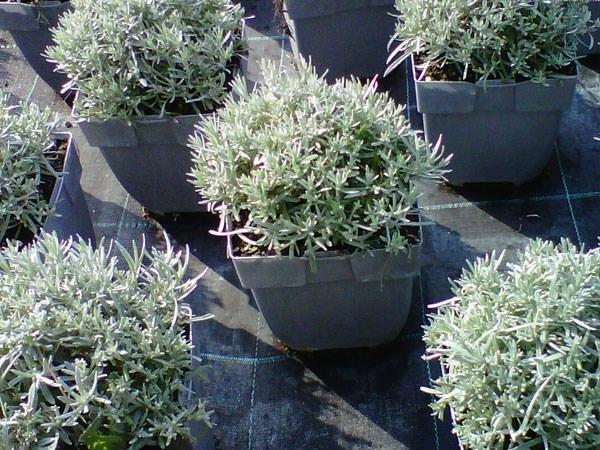 Elicriso liquirizia aromatiche elicriso liquirizia orto for Coltivazione basilico in vaso