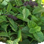 Raccolta erbe aromatiche