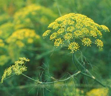 piante aromatiche: il finocchio selvatico