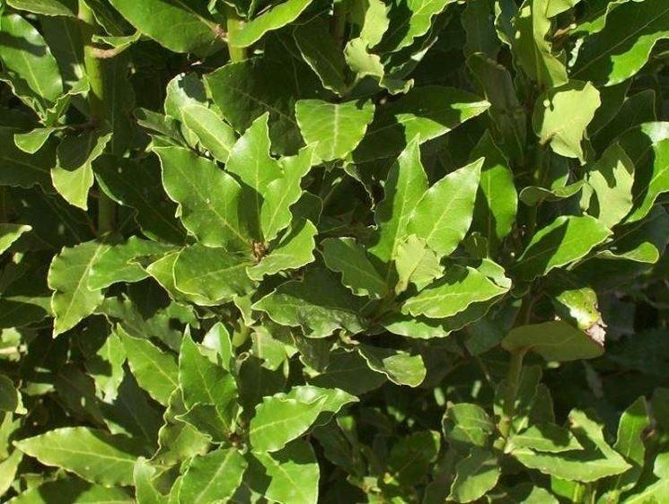 piante aromatiche: l'alloro