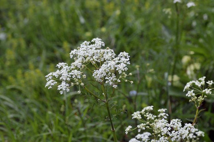 piante aromatiche: il cumino