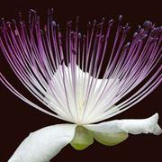 fiore del cappero fioritura