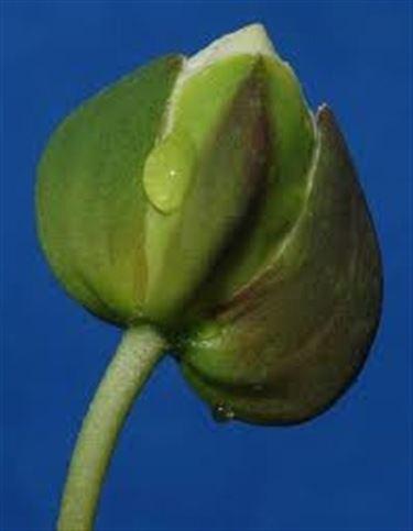 bocciolo fiore del cappero