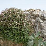 Pianta di Capperi su roccia