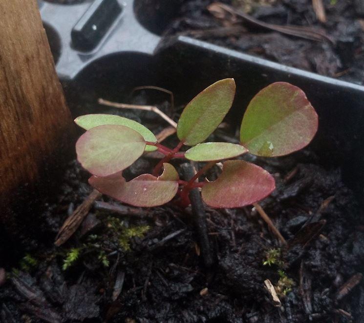 Riproduzione della pianta di Capperi per talea
