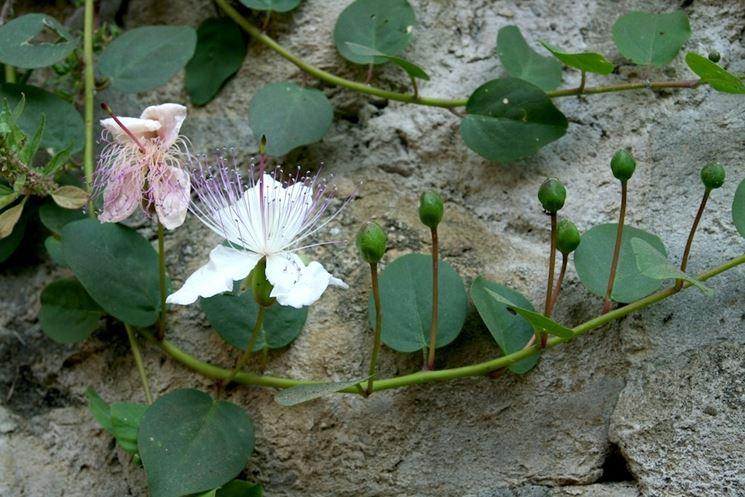 pianta di Capperi