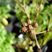 semi di coriandolo