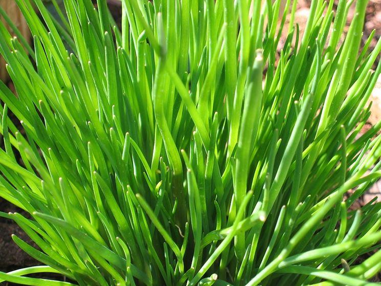 L 39 erba cipollina aromatiche coltivare erba cipollina - Compost casalingo ...