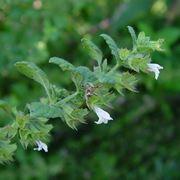 Melissa officinalis: ramo fiorito