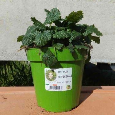 La melissa officinalis pu� essere coltivata anche in vaso