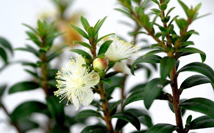 Mirto fiore