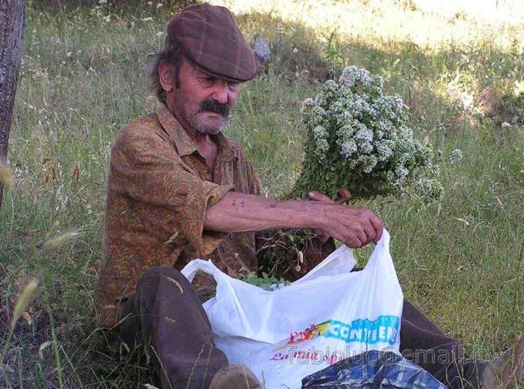 uomo raccoglie origano